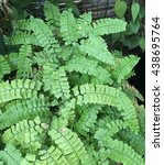 Small photo of Adiantum polyphyllum or Maidenhair fern