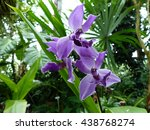 Small photo of Acacallis cyanea, orchid