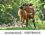 Close Up Of Antilope Bongo In...