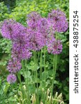 Small photo of Onion Allium flowering ornamental edible medicinal plant