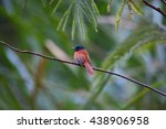 Small photo of African Paradise Flycatcher (Terpsiphone viridis) female in Rwanda