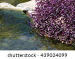 Cluster Of Invasive Purple...