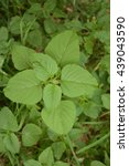 Small photo of Weed and medicinal plant Amaranthus retroflexus (red-root amaranth, redroot pigweed, common amaranth)