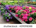 Blue Pink Hydrangea Macrophyll...