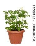Russet Potato Plant In Pot