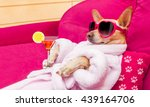 Stock photo chihuahua dog relaxing and lying in spa wellness center wearing a bathrobe and funny 439164706