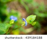 common dayflower   Shutterstock . vector #439184188