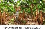 Farmer Harvesting On A Banana...