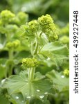 Small photo of Healing Alchemilla vulgaris
