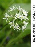 Small photo of Curative Allium ursinum