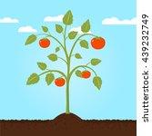 tomato plant flat design   Shutterstock .eps vector #439232749
