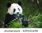 cute eating panda  china  | Shutterstock . vector #439241698