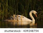 Mute Swan  Cygnus Olor  Family...