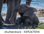 Baby Elephant Sitting In Mud...