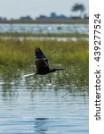 Small photo of African darter crosses marshes with wings raised