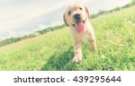 Stock photo dog in field labrador retriever puppy in field 439295644