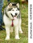 siberian husky dog  summer | Shutterstock . vector #439309858