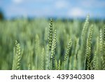 green head of wheat in... | Shutterstock . vector #439340308