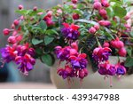 Purple Fuchsia In Pot