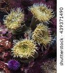 The Aggregating Anemone ...