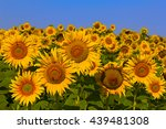 Sunflower Field On A Sunny Day...