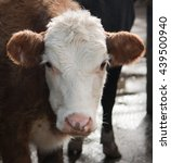 Hereford Cow Close Up