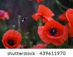 Field Poppy Flower With...