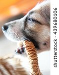 cute puppy gnawing basket | Shutterstock . vector #439680106