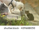 Stock photo white maltese dog sniffing small cat kitten in head on sun day 439688050