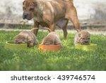 shar pei puppies | Shutterstock . vector #439746574