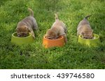 shar pei puppies | Shutterstock . vector #439746580