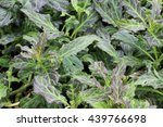 Small photo of Asteraceae: Gynura pseudo china (L.) plants in nature garden
