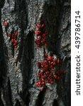 Small photo of pyrrhocoridae wingless on a sunny day on tree bark