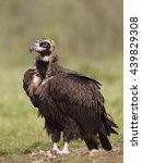 Small photo of Black vulture (Aegypius monachus) standing on the ground in its habitat