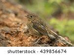 robin redbreast  juvenile ... | Shutterstock . vector #439856674
