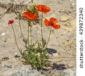 Small photo of Red poppies on the meager sandy soil of the island of Cyprus.