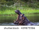 hippopotamus in kruger national ... | Shutterstock . vector #439875586