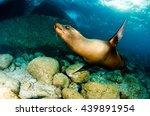 Californian Sea Lion  Zalophus...