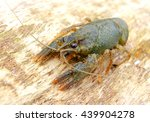 river  decapod crayfish close... | Shutterstock . vector #439904278