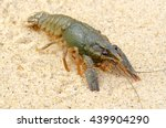 Small photo of River, decapod crayfish close up in their natural habitat.