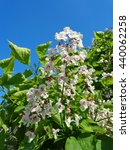 Branch catalpa blossoms against blue sky - stock photo
