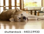 akita dog laying down on the... | Shutterstock . vector #440119930
