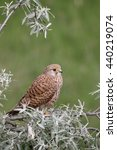 Small photo of Kestrel, Falco tinnunculus, single female on branch, Hungary, May 2016