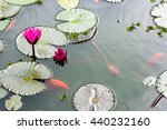A Gold Fish Pond With Lily Pad...