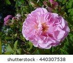 A Beautiful Pink Blosomming...