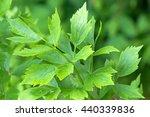 Closeup Wet Leaves Of Lovage...