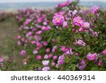 Stock photo beautiful bush of pink roses in a spring garden flower field field of tea rose rose garden 440369314
