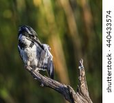 Small photo of Pied kingfisher in Kruger national park, South Africa ; Specie Ceryle rudis family of Alcedinidae