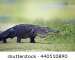 Wild American Alligator...
