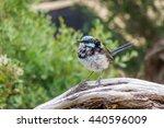 Superb Fairy-Wren in Wilsons Promontory, Victoria, Australia